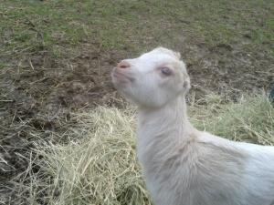 Lamancha baby goat