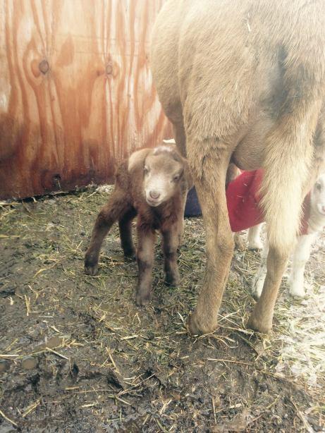 lamb-2