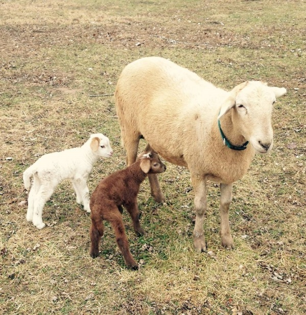 mabel-lambs